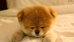 Pomeranian Puppy Wallpaper 457