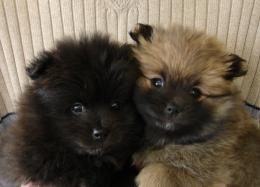 Black Pomeranian Dog Wallpaper and picturesNew Wallpapers 599