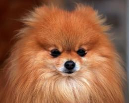 Pomeranian Wallpapers, Pictures & Breed Information 318