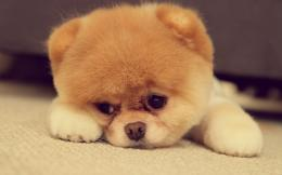 Download Cute pomeranian puppy on the floor wallpaper 604