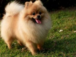 Pomeranian Dog In Nature « Dogs « HD Animal Wallpaper 806