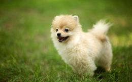 Pomeranian Dog Wallpaper | Pomeranian Dog Photos | Cool Wallpapers 1608