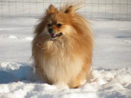 Pomeranian Dog Wallpaper | Pomeranian Dog Photos | Cool Wallpapers 1849