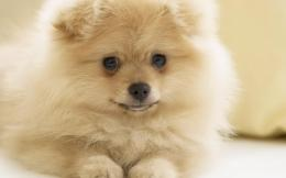 Pomeranian wallpapers and imageswallpapers, pictures, photos 180