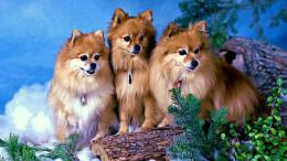 Pomeranian Dog HD Wallpaper, Pomeranian Dog ImagesNew Wallpapers 1722
