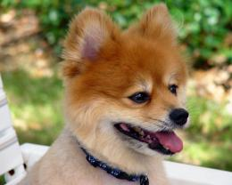 Pomeranian Wallpapers, Pictures & Breed Information 1561