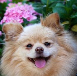PomeranianDog wallpapers, backgrounds 275