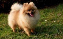 Pomeranian puppies puppy HD photos | 1440x900 hd Animals wallpaper 924
