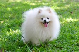 White PomeranianMale, age of 18 months 500