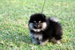 Black & Tan PomeranianFemale, age of 2 months 1332
