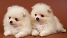 wallpapers pomeranian wallpaper cute pomeranian wallpaper pomeranian 134