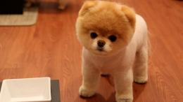 Cute Pomeranian Dog Wallpapers | HD Wallpapers 1448