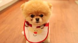 Pomeranian puppy with bib wallpaper #3619 1680