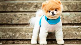 Pomeranian PuppyHigh Definition WallpapersHD wallpapers 422