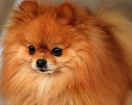 Pomeranian Wallpapers, Pictures & Breed Information 492