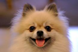 Pomeranian Dog Wallpaper | Fun Animals Wiki, Videos, Pictures, Stories 682