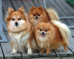 Pomeranian Wallpapers, Pictures & Breed Information 657