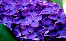 Download high quality 1280 x 800 Gorgeous purple flower Wallpaper 1199