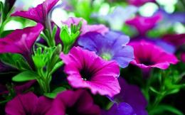 Pink purple flowers Wallpapers Pictures Photos Images 1046