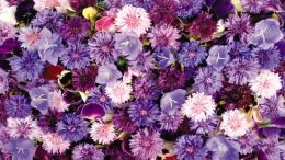 Flowers Free Purple Dreamy Flowers Resolution 1366x768 Wallpaper7 531