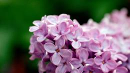 Light Purple Flowers 1080p Wallpapers | HD Wallpapers 1065