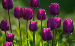 spring purple tulips flowers Flowers Wallpapers| HD Wallpaper 1383