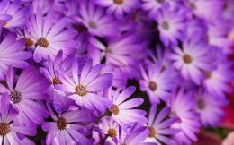 Purple flowers hd Wallpapers Pictures Photos Images 863