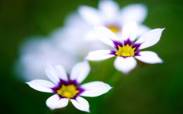 White Purple Flowers Wallpapers Pictures Photos Images 199