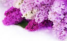 Lilac purple flowers Wallpapers Pictures Photos Images 399