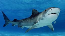 Shark HD Wallpapers | Hd Wallpapers 1594