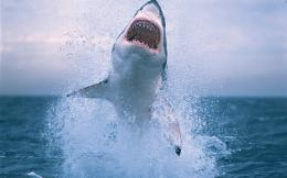 Shark HD Wallpapers 745