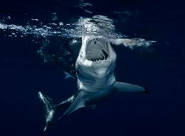 Animal pictures sharks wallpapers hd photos shark wallpaper 23 jpg 849