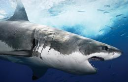 Shark HD Wallpapers | Shark Fish Pictures | Cool Wallpapers 234