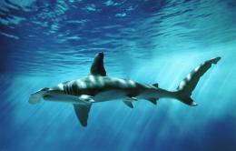 Hammerhead Shark Images 24682 Hd Wallpapers 403