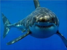 Great White Shark HD Wallpapers | HD Wallpapers 360 1165