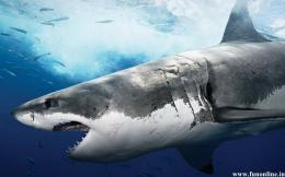 Shark Wallpapers, Download Free Deadly White Sharks HD Wallpaper 1810