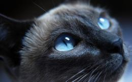 Siamese cat with blue eyes wallpaper | HD Latest Wallpapers 535