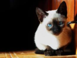 Serious Siamese photo and wallpaperBeautiful Serious Siamese 488