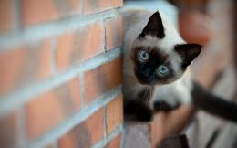Blue Eye Siamese Cat Wallpaper #14409 Wallpaper | Wallpaper Screen 335