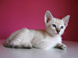 Siamese kitten red background photo and wallpaperBeautiful Siamese 188