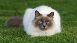 Download 1600x900 Siamese Cat On A Lawn Wallpaper 659