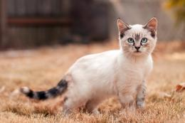 Cute Siamese Cat Roaming Animal Picture HD Wallpaper | Animal Pictures 1034