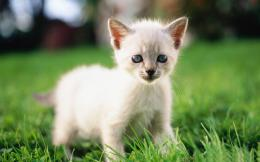 Siamese Cat Wallpapers | Siamese Cat Pictures | Cool Wallpapers 1209