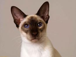 Download Cats wallpaper, \'Siamese cat for sale\' 1370