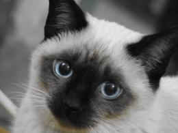 Pictures Of Siamese CatsDesktop Backgrounds 1580