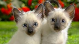 Two Siamese cats Wallpapers HD, HD Desktop Wallpapers 517