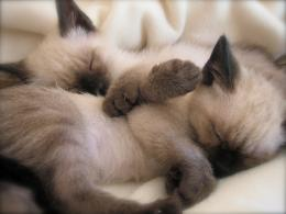 Siamese kittens photo and wallpaperBeautiful Sleeping Siamese 1685