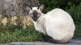 Siamese Cat Wallpapers, Achtergronden | 1920x1080 | ID:277963 571