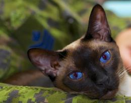 Siamese Cat Wallpapers   Siamese Cat Pictures   Cool Wallpapers 1699