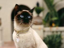 Siamese cats | Cute Cats 695